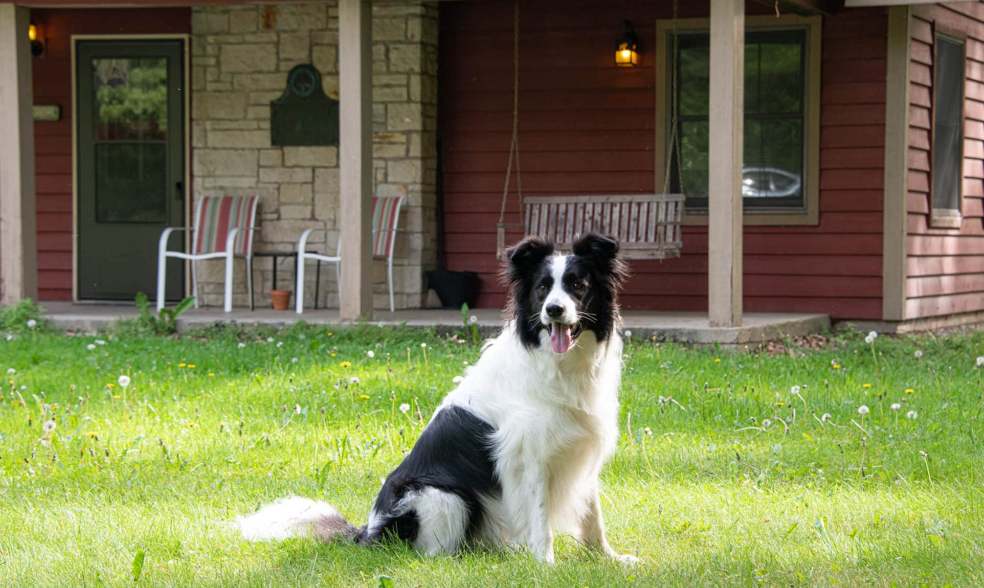 Border Collie dog in front of Mother-in-Law Cabin